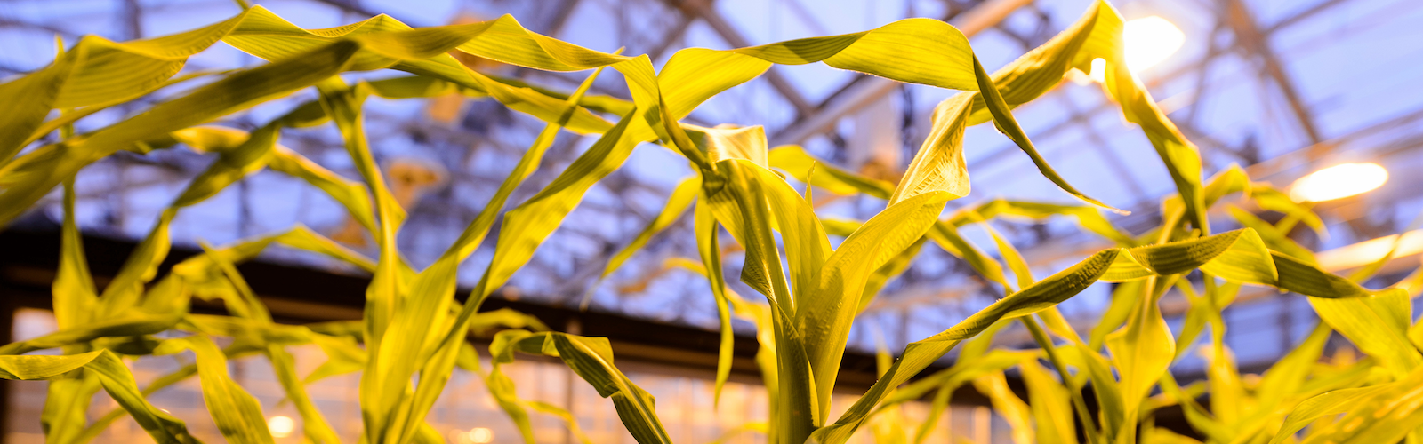 Corn growing in campus greenhouse
